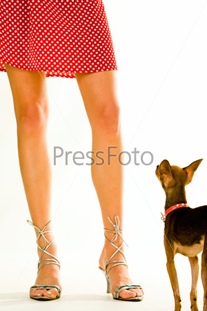 Closeup of a Chihuahua doggy standing near lady's legs