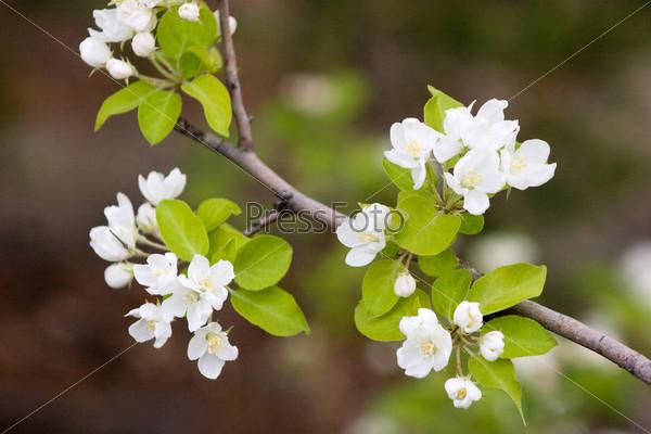 Белые цветы на ветке дерева