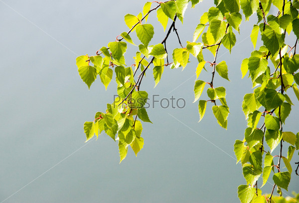 Ветка с березовыми листьями на фоне неба