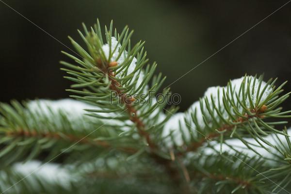 Иней на веточке хвойного дерева в лесу