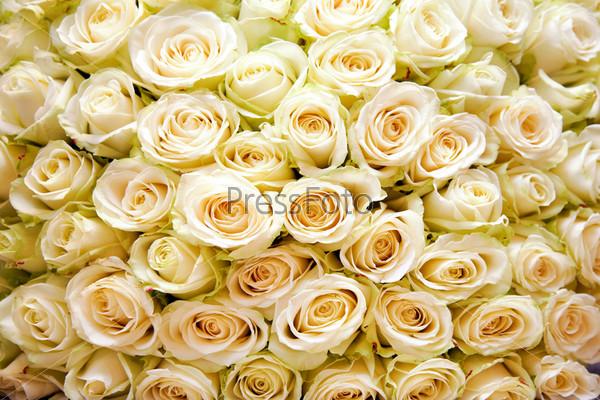 Огромный букет белых роз