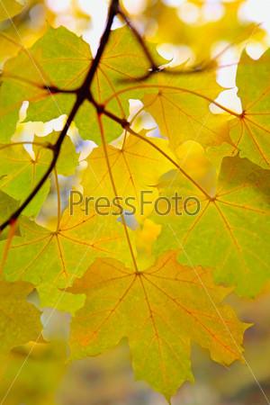 Ветка с осенними кленовыми листьями