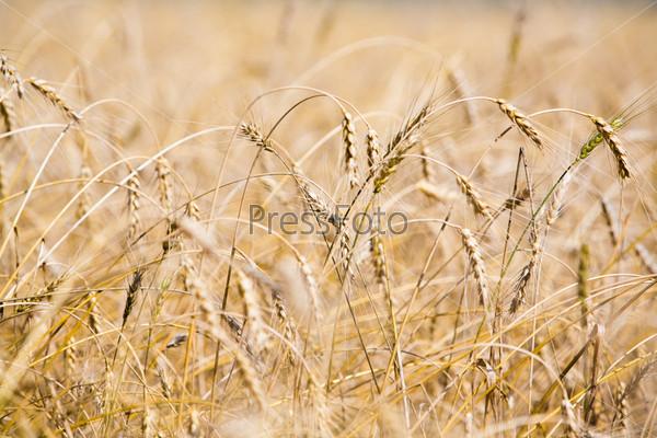 Крупный план пшеничного поля