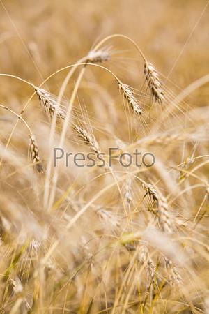 Пшеничные колоски крупным планом