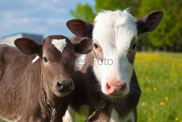 Close up of a young calfs