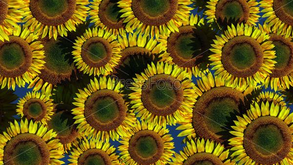 Фон из цветов подсолнечника