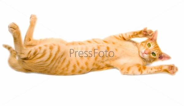 Желто-рыжий кот