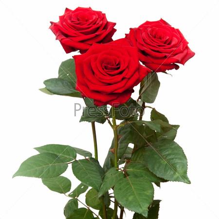розы на белом фоне картинки