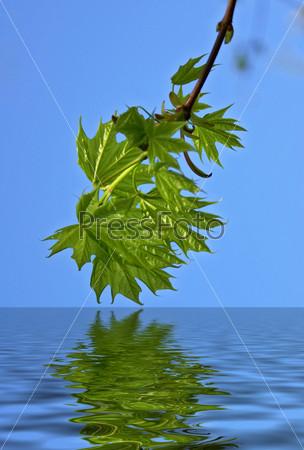 Maple leaf reflection