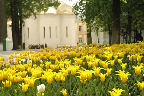 Желтые тюльпаны в парке
