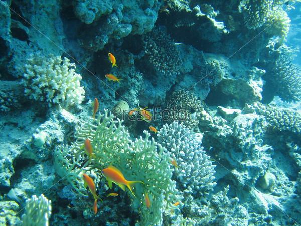 Желтые рыбки в коралловых рифах