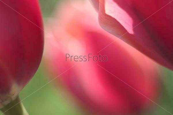 Бутоны розовых тюльпанов крупным планом