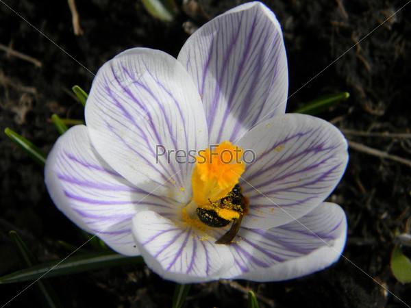 Пчела в подснежнике