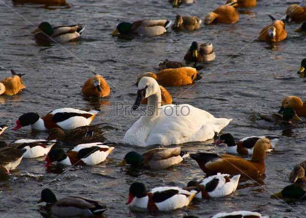 Лебедь в окружении уток