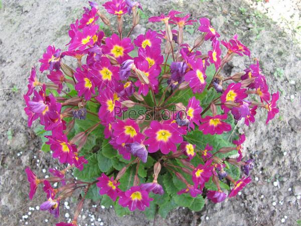 Цветущая примула