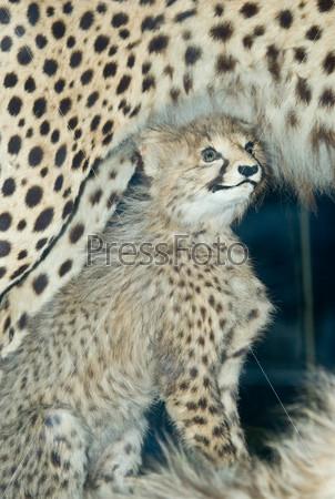 Чучело детеныша гепарда