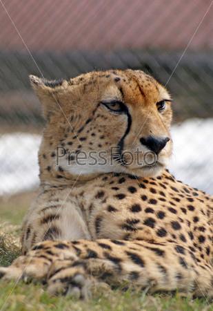 Очень серьезный гепард, лежащий на траве На заднем плане снег