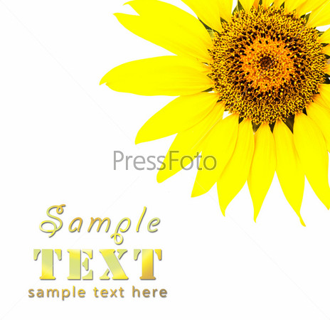 Bright yellow sunflower on a white background