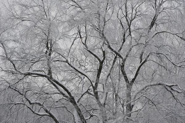 Раскидистое дерево в инее
