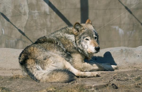 Лежащий волк