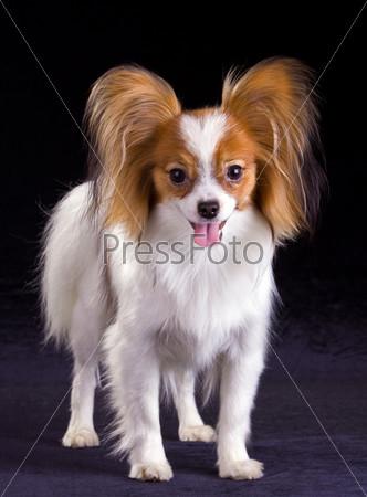Dog of breed papillon