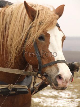 Лошадь в упряжке крупным планом