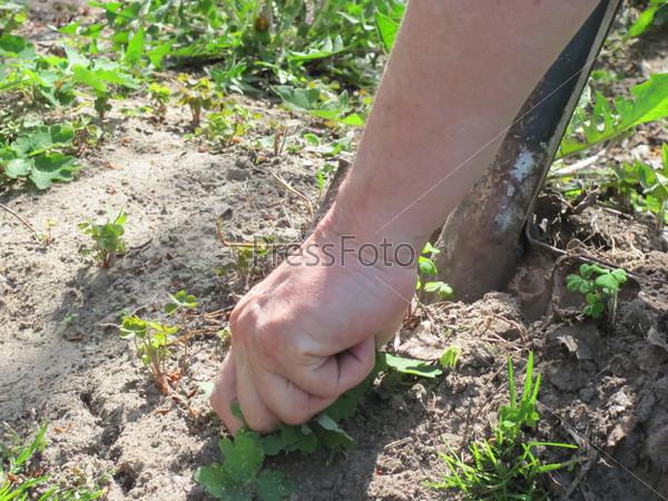 Рука, вырывающая сорняки в саду