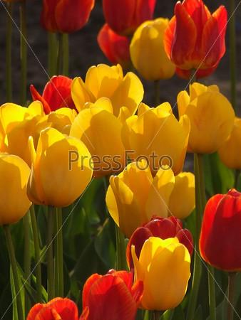 Желтые и красные тюльпаны