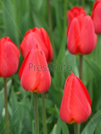 Бутоны тюльпанов