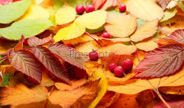 Фотография на тему Осенние листья рябины
