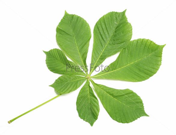 фото листья каштан