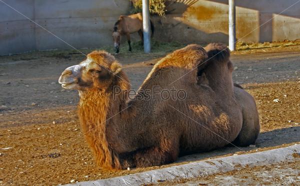 Верблюд лежит на земле