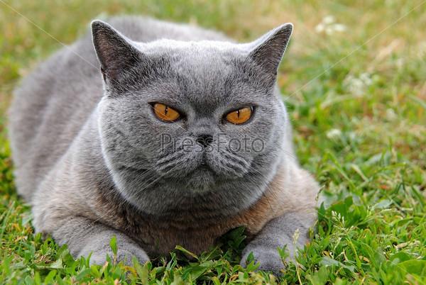 Серый кот с коричневыми глазами