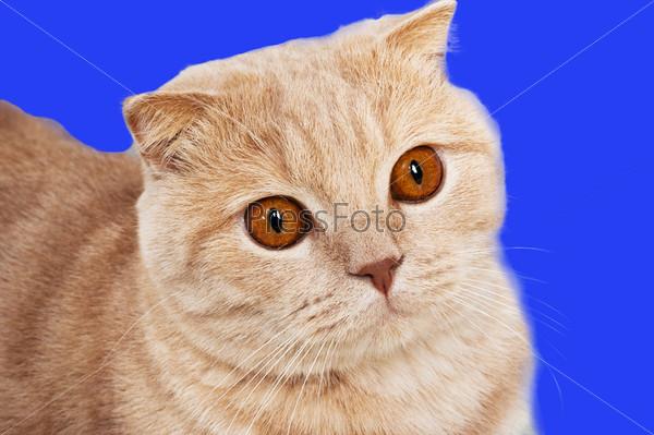 Персиковый шотландец кот