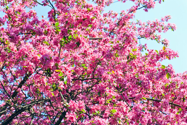 Дерево сакуры с розовыми цветами на фоне голубого неба