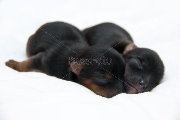 новорождённые щенки йоркширского терьера фото