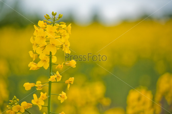 желтые цветы полевые фото