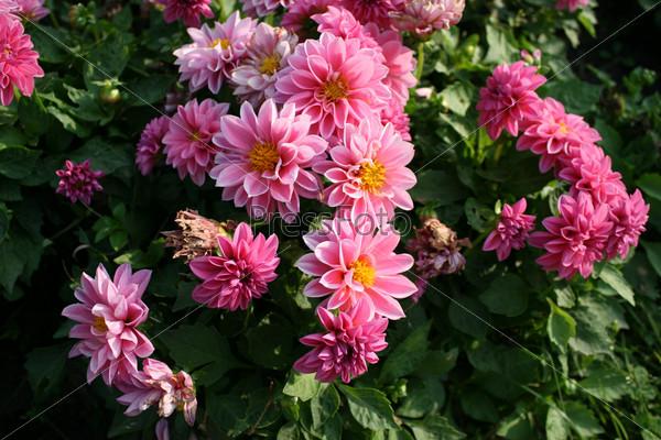Розовые георгины в саду (Dahlia)