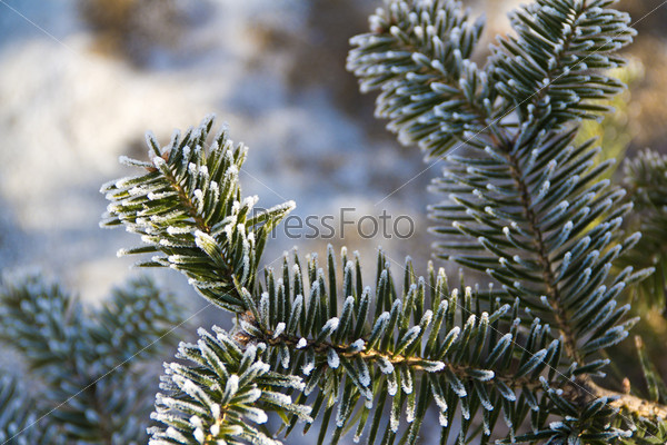 spruce in frost