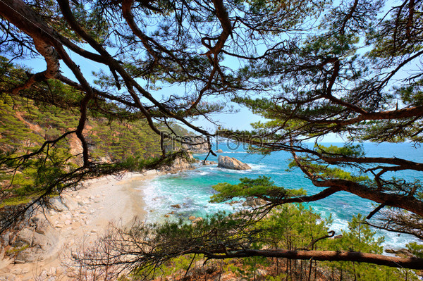 coniferous trees on a seashore