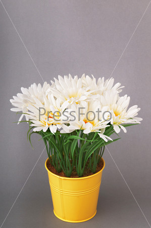 White gerberas in the pot