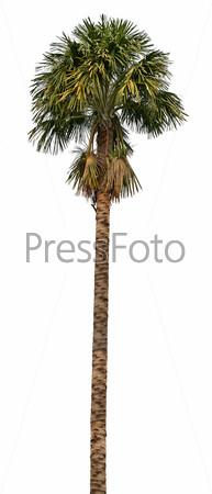 Пальма на белом фоне