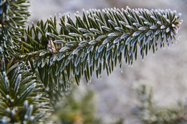 spruce in frost