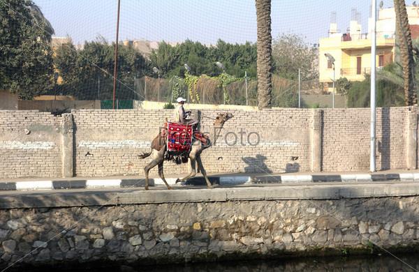 Bedouin on camel in Cairo