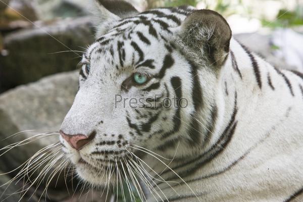 Портрет белого тигра