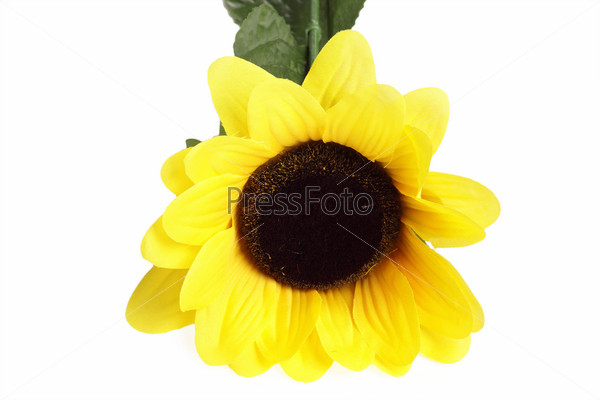 Beautiful sunflower, isolated on the white background
