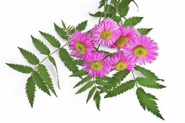 Букет из розовых цветов и зеленых листьев рябины на белом фоне