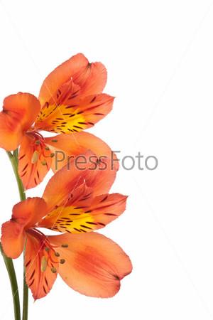 Оранжевый цветок на белом фоне