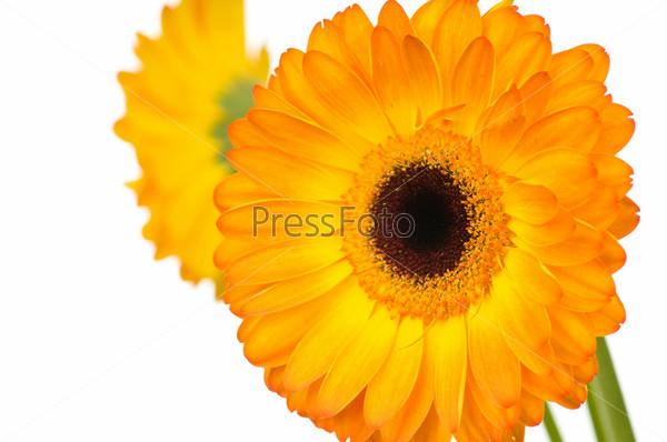 Оранжевый цветок герберы на белом фоне
