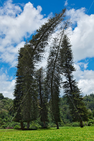 Crooked Cook Pines (Araucaria columnaris)